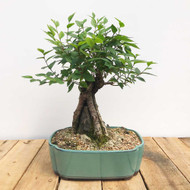 Root Over Rock Chinese Elm (WEB402)