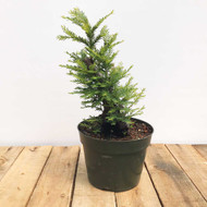 Redwoods Metasequoia / Sequoia Bonsai (WEB404)