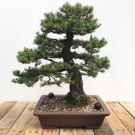 Scots Pine 'Pinus sylvestris' Bonsai (WEB406)