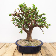 Mini Jade portulacaria afra (WEB410)