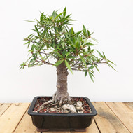 Willow Leaf Ficus (WEB411)