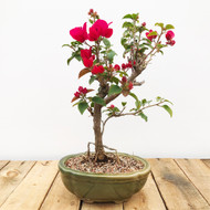 Red Flower Bougainvillea (WEB413)