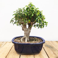 Ficus Too Little (WEB414)