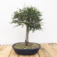 Broom Style Chinese Elm (WEB416)