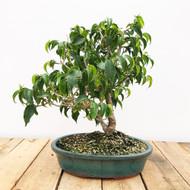 """Ficus benjamina var. """"Wiandi"""" Bonsai (WEB428)"""