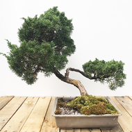 25 Year Old Shimpaku Juniper (WEB437)