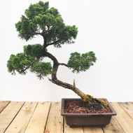 25 Year Old Shimpaku Juniper (WEB439)