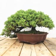 25 Year old Japanese Garden Juniper (WEB446)