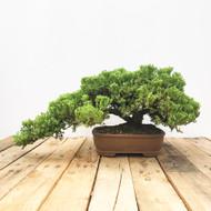 25 Year old Japanese Garden Juniper (WEB447)