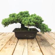 25 Year old Japanese Garden Juniper (WEB449)