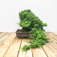 25 Year old Japanese Garden Juniper (WEB452)