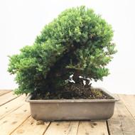 25 Year old Japanese Garden Juniper (WEB453)