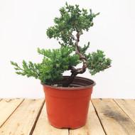 Pre-bonsai Juniper (WEB445)