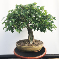 Trident Maple in Sara Rayner Pot (WEB464)