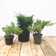 NEW Pre-Bonsai Juniper 3-Pack (Outdoor)