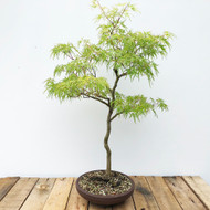 Japanese Maple (WEB556)