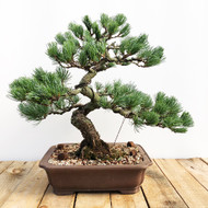 Japanese White Pine - Five Needle Pine (WEB561)
