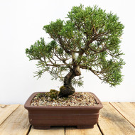 25 year old Shimpaku Juniper (WEB565)