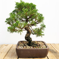 25 year old Shimpaku Juniper (WEB566)