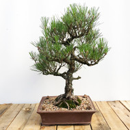 Imported Japanese Black Pine (WEB569)