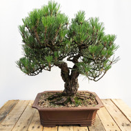 Twin Trunk Imported Japanese Black Pine (WEB570)