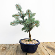 Grafted Baker's Blue Spruce (WEB578)
