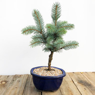 Grafted Baker's Blue Spruce (WEB579)