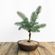 Grafted Baker's Blue Spruce (WEB581)