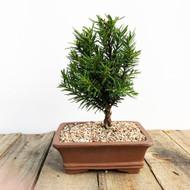 Small Yew Taunton (WEB582)