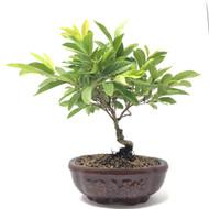 Guava Bonsai Tree (TWEB-207)