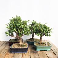 Large Mini Jade portulacaria afra (#5WEBB)