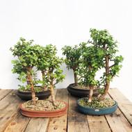 Grove Mini Jade portulacaria afra (#5WEBC)