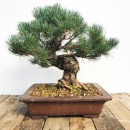Japanese White Pine - Five Needle Pine (WEB594)