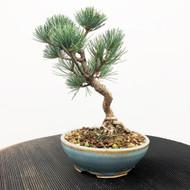 Japanese White Pine - Five Needle Pine (WEB596JWP008)
