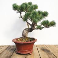 Japanese White Pine - Five Needle Pine (WEB597)