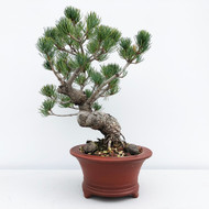 Japanese White Pine - Five Needle Pine (WEB597) - FREE SHIPPING