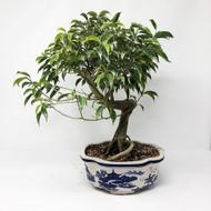 Coiled Trunk Oriental Ficus (TWEB222)