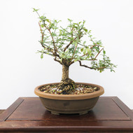 Fat Trunk Jasmine Pre-Bonsai (G5-2)