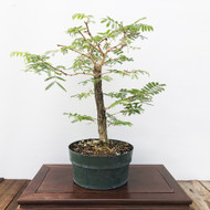 Rabbits Foot Acacia Pre-Bonsai (G5-3)