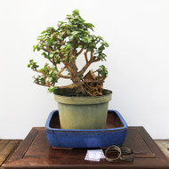 Fat Trunk Pre-Bonsai Dwarf Jade (G5-21)