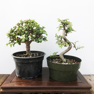 Jade and Chinese Elm Pre-Bonsai Kit (G5-28)