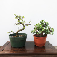 Jade and Chinese Elm Pre-Bonsai Kit (G5-30)