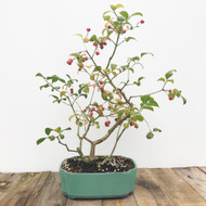 Fruiting Silvererry Bonsai  (G5-40)
