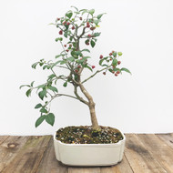 Fruiting Silvererry Bonsai  (G5-41)