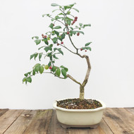 Fruiting Silvererry Bonsai  (G5-42)