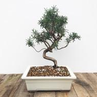 10+ yr Old Single Trunk Rosemary Bonsai  (G5-42)