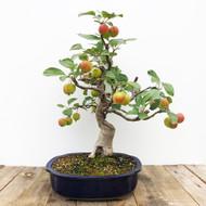 15 yr Old Flowering Crabapple Bonsai  (G5-44)