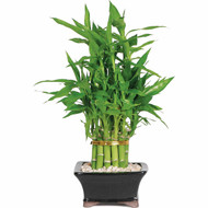 Lucky Bamboo - Two Tier Pyramid (Indoor)