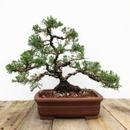 25 yr old Shimpaku Juniper bonsai  (G5-45)