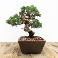 35+ yr old Shimpaku Juniper bonsai  (G5-46)